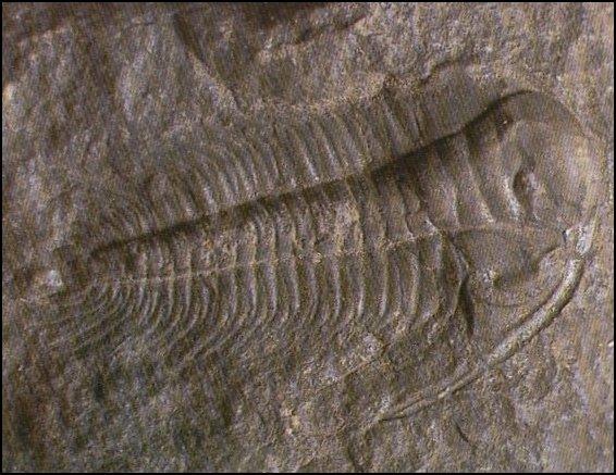 Trilobite_Arthropode_famille_paradoxides_datant_Paleozoique_Cambrien_moyen.jpg