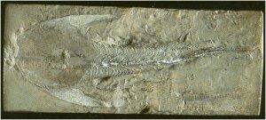 cephalaspis_un_des_1er_poissons_sans_machoire.jpg